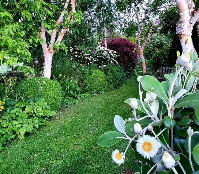 https://kamahi.co.nz/wp-content/uploads/Marlborough-daisy-Kamahi-garden.jpg